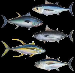 Various Strains of Tuna Fish